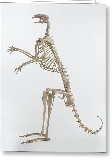 Kangaroo (macropus) Greeting Card by Dorling Kindersley/uig