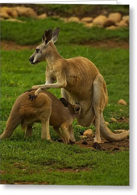 Kangaroo Digital Greeting Cards - Kangaroo nursing its Joey Greeting Card by Chris Flees