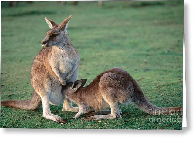 Kangaroo With Joey Greeting Card by Gregory G. Dimijian, M.D.