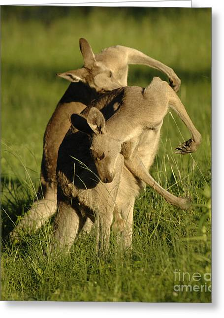 Kangaroos Taking A Bow Greeting Card by Bob Christopher