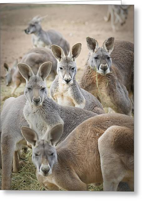 Kangaroos Waga Waga Australia Greeting Card by Jim Julien
