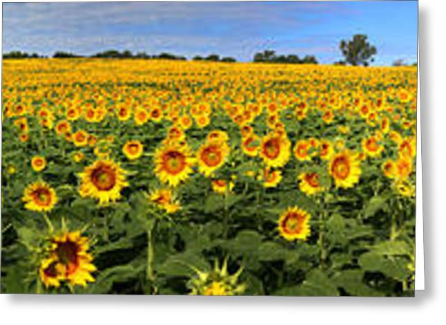 Yellow Sunflower Greeting Cards - Kansas Sunflowers Pano 9C Greeting Card by Gary Gingrich Galleries