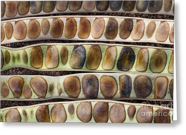 Kassod Tree Seed Pods Pattern Greeting Card by Tim Gainey
