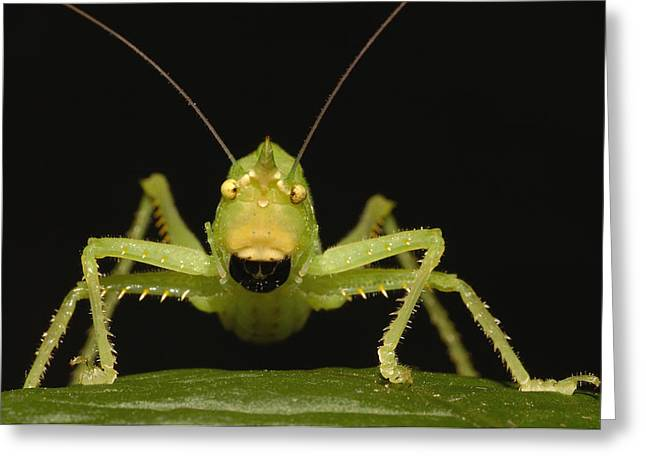 Katydid Greeting Cards - Katydid Portrait Ecuador Greeting Card by Pete Oxford
