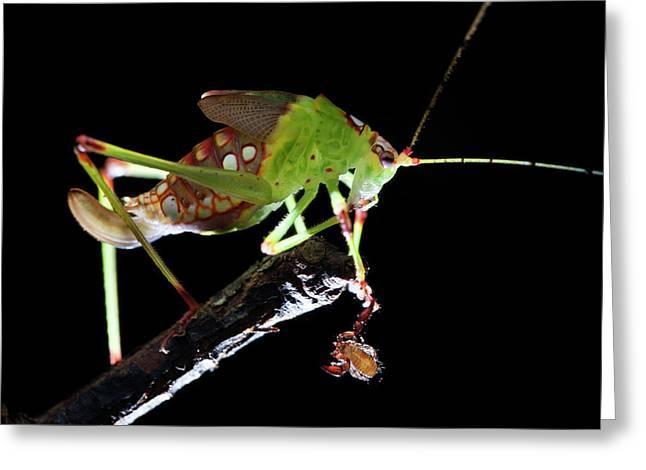 Katydid With Pseudoscorpion Greeting Card by Melvyn Yeo