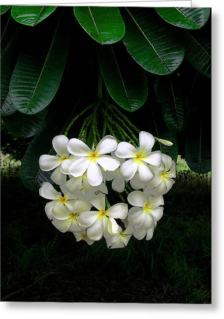 Jim Temple Greeting Cards - Kawela Plumeria Greeting Card by James Temple