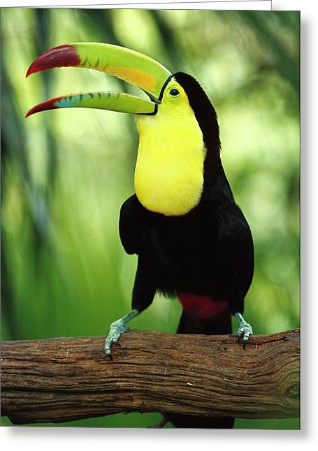 Gerry Greeting Cards - Keel-billed Toucan  Greeting Card by Gerry Ellis