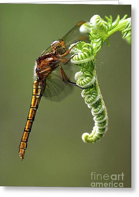 Zoology Greeting Cards - Keeled Skimmer Dragonfly Greeting Card by Colin Varndell