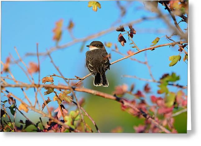Eastern Kingbird Greeting Cards - Keep An Eye Out Greeting Card by Greg Norrell