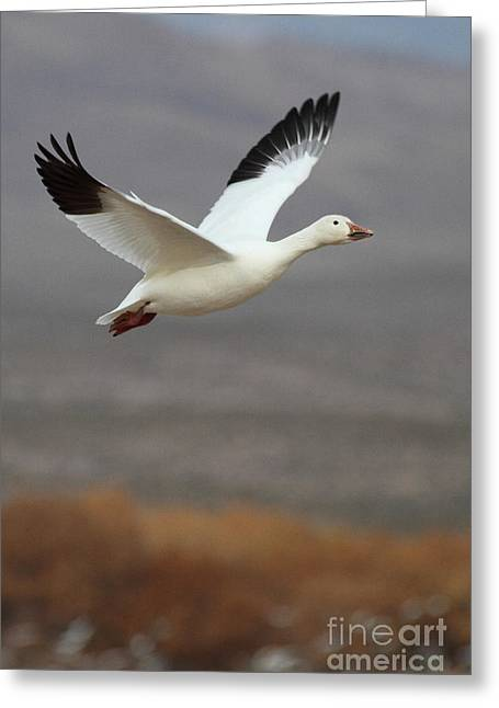 Ruth Jolly Greeting Cards - keep flying Goose Greeting Card by Ruth Jolly