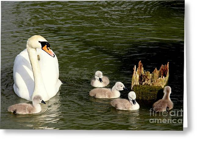 Swans... Greeting Cards - Keeping A Watchful Eye Greeting Card by Linsey Williams
