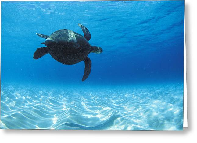 Under-water Greeting Cards - Keiki Turtle Greeting Card by Sean Davey