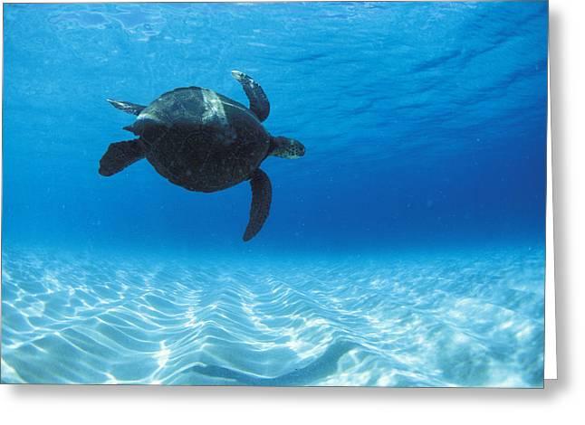 Sea Life Framed Prints Greeting Cards - Keiki Turtle Greeting Card by Sean Davey