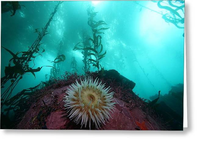 Kelp Forest Greeting Cards - Kelp Forest by Chad King Greeting Card by   California Coastal Commission