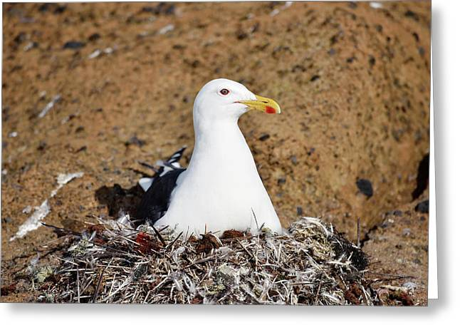 Kelp Gull On Its Nest Greeting Card by Dr P. Marazzi