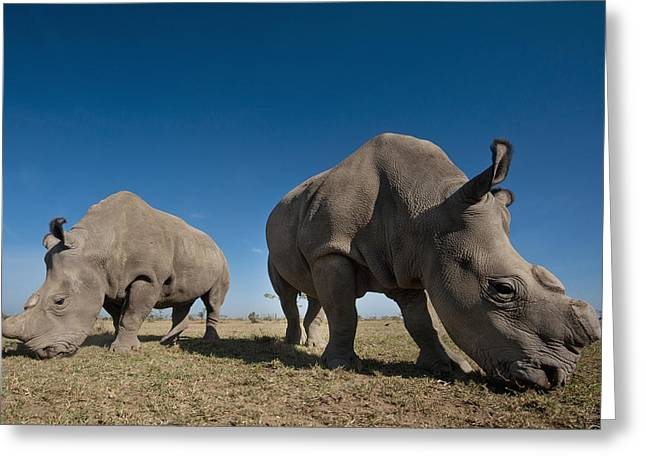 Simple Beauty In Colors Greeting Cards - Kenya, Great Northern White Rhinos Greeting Card by Ian Cumming
