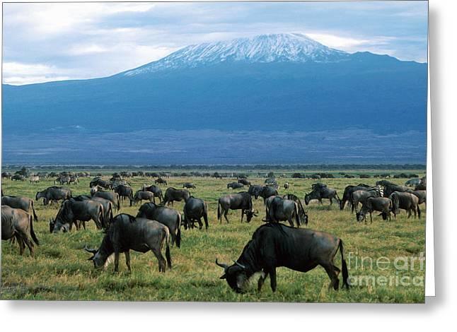 Mount Kilimanjaro Greeting Cards - Kenya Mount Kilimanjaro Wildebeests Grazing Greeting Card by Anonymous