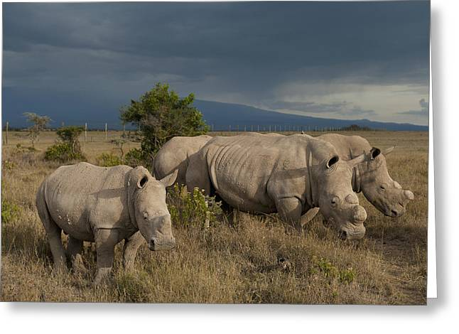 Simple Beauty In Colors Greeting Cards - Kenya, Southern White Rhinos In Ol Greeting Card by Ian Cumming