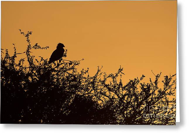 Martial Eagle Greeting Cards - Kenyan Sunrise Greeting Card by Ashley Vincent