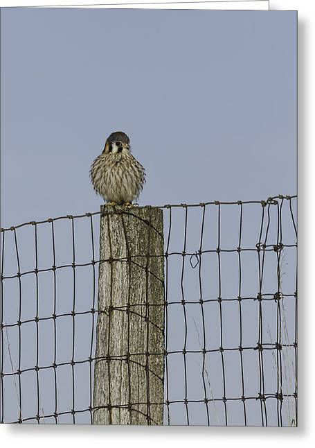 Fence Pole Greeting Cards - Kestrel On A Fence Pole Greeting Card by Thomas Young