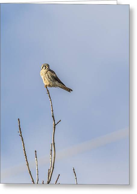 Falcon Hunting Greeting Cards - Kestrel On A Limb Greeting Card by Thomas Young