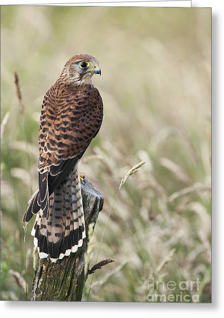 Grassland Greeting Cards - Kestrel Greeting Card by Tim Gainey