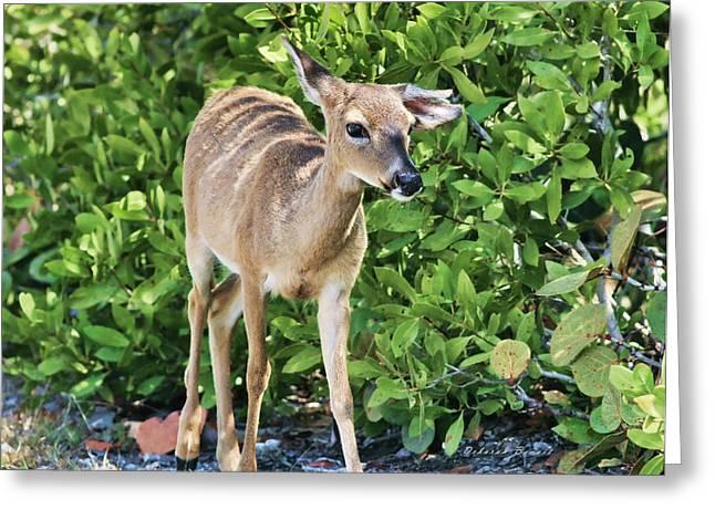 Deborah Benoit Greeting Cards - Key Deer Cuteness Greeting Card by Deborah Benoit