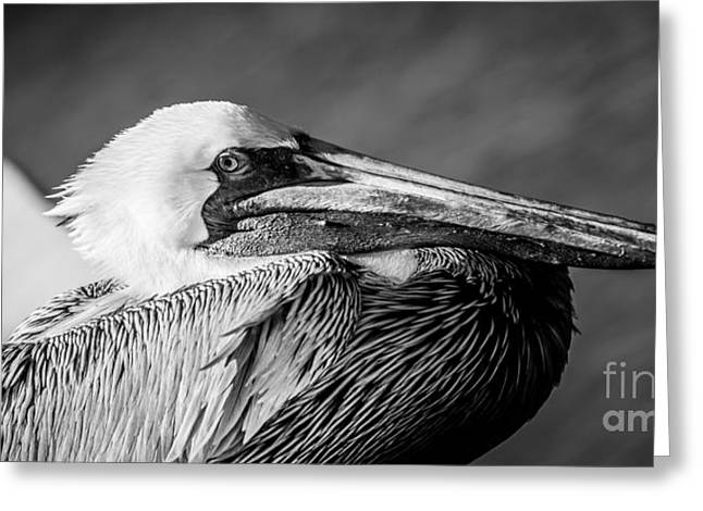 West Wing Greeting Cards - Key West Pelican Closeup - panoramic - Black and White Greeting Card by Ian Monk