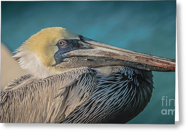 Liberal Greeting Cards - Key West Pelican Closeup - panoramic - HDR Style Greeting Card by Ian Monk