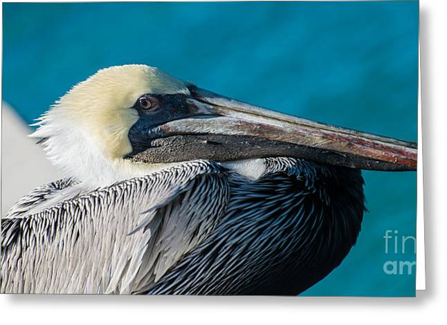 Liberal Greeting Cards - Key West Pelican Closeup - panoramic Greeting Card by Ian Monk