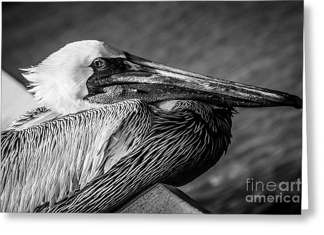 White Wing Greeting Cards - Key West Pelican Closeup - Pelecanus Occidentalis - Black and White Greeting Card by Ian Monk