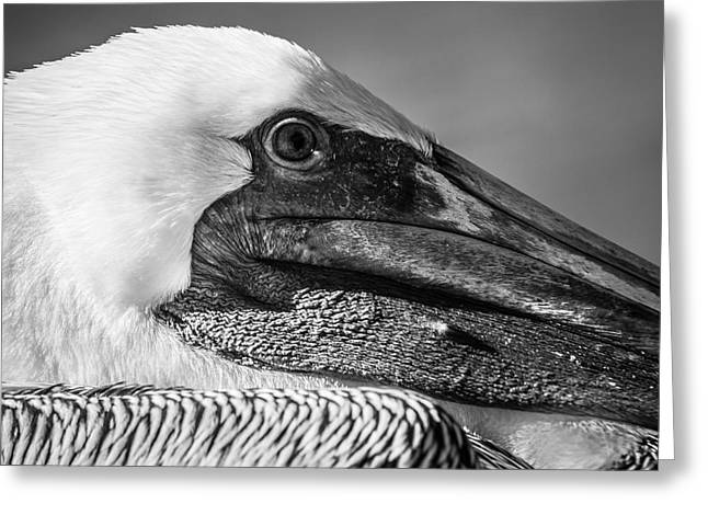 White Wing Greeting Cards - Key West Pelican Closeup - Square - Black and White Greeting Card by Ian Monk