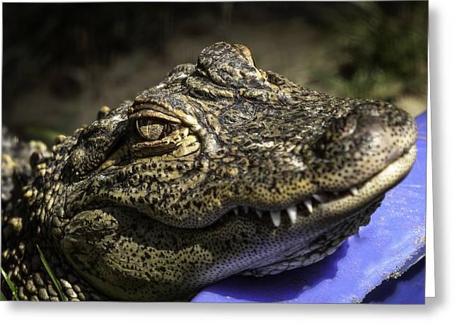 Coldblooded Greeting Cards - Kiddie pool Alligator Greeting Card by LeeAnn McLaneGoetz McLaneGoetzStudioLLCcom