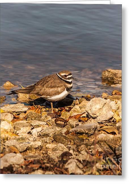 Bird Watcher Greeting Cards - Kildeer On The Rocks Greeting Card by Robert Frederick