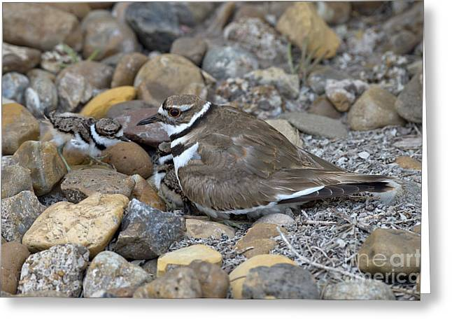 Killdeer Greeting Cards - Killdeer And Young Greeting Card by Anthony Mercieca