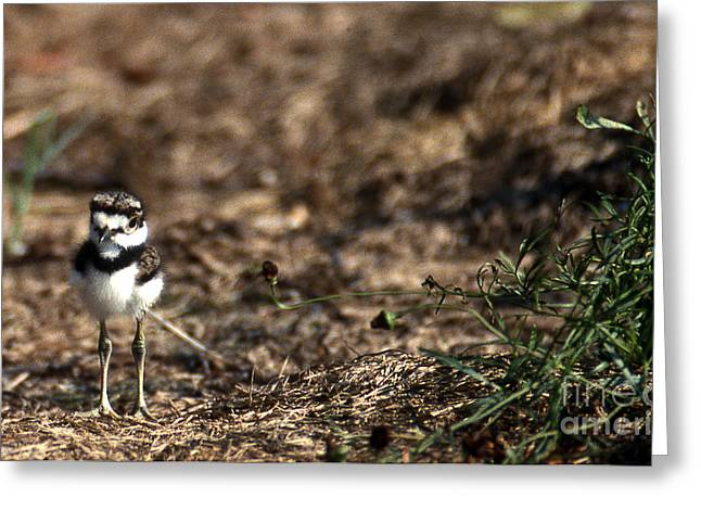 Kinds Of Birds Greeting Cards - Killdeer Chick Greeting Card by Skip Willits