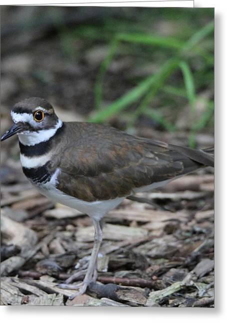 Killdeer Greeting Cards - Killdeer Greeting Card by Dan Sproul