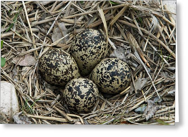 Killdeer Greeting Cards - Killdeer Eggs In Nest Greeting Card by Linda Freshwaters Arndt