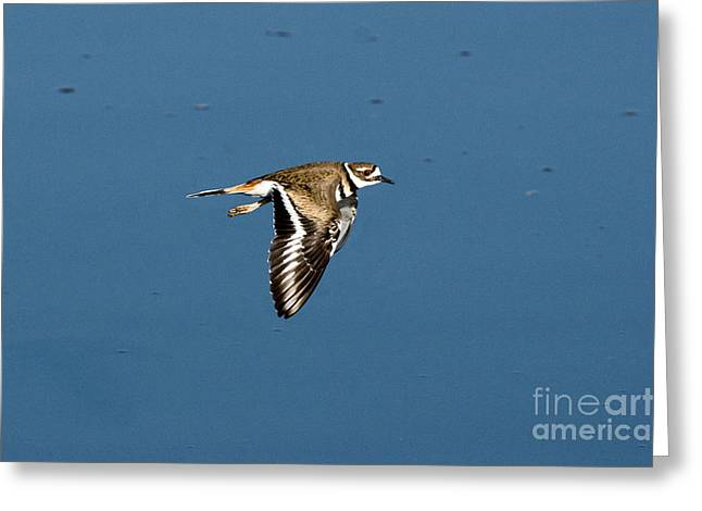 Killdeer Greeting Cards - Killdeer In Flight Greeting Card by Anthony Mercieca