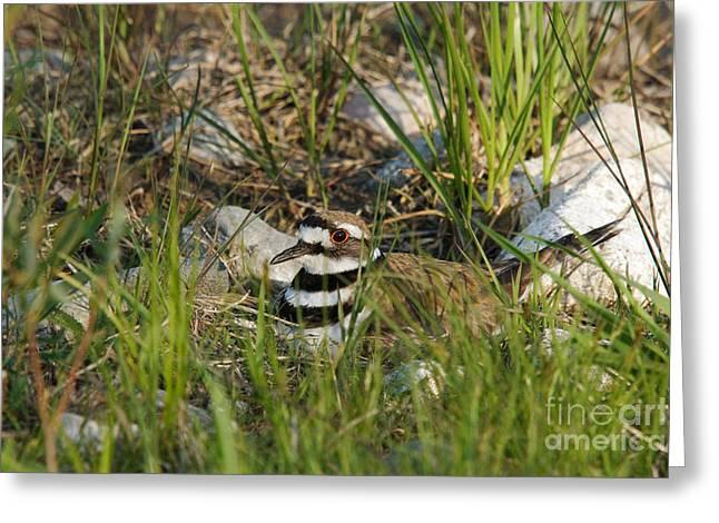Mud Nest Greeting Cards - Killdeer Greeting Card by Linda Freshwaters Arndt