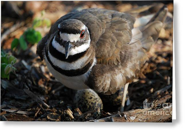 Photos Of Birds Greeting Cards - Killdeer Mom Greeting Card by Skip Willits