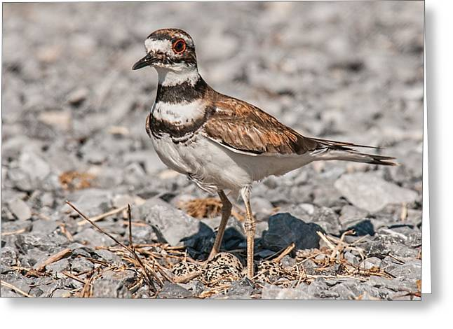 Killdeer Greeting Cards - Killdeer Nesting Greeting Card by Lara Ellis