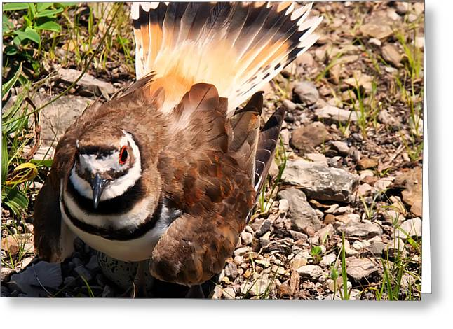 Killdeer Greeting Cards - Killdeer on its nest Greeting Card by Chris Flees