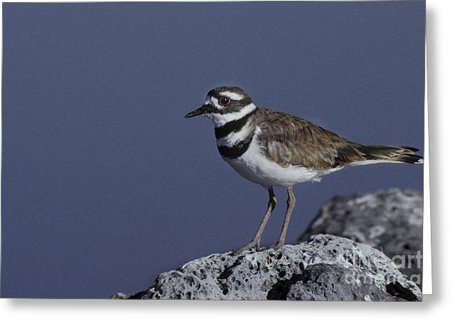 Killdeer Greeting Cards - Killdeer Greeting Card by Ron Sanford