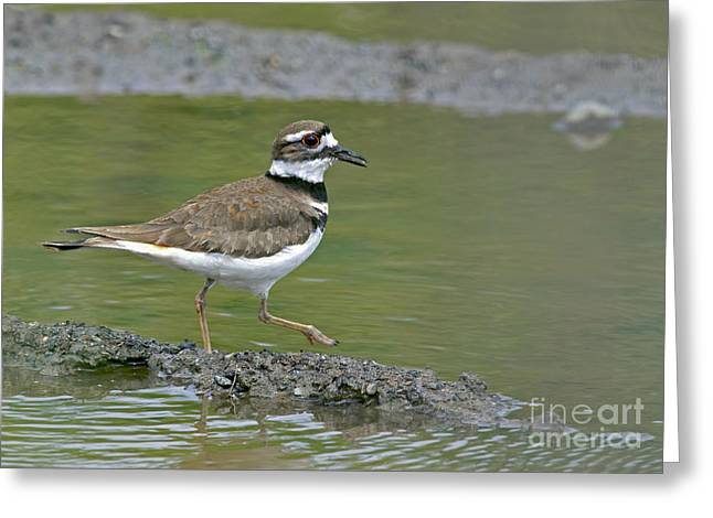 Killdeer Greeting Cards - Killdeer Walking Greeting Card by Sharon  Talson