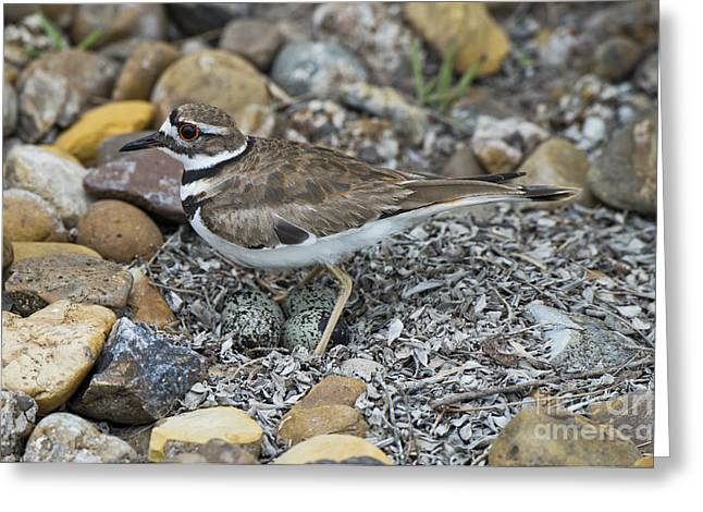 Killdeer Greeting Cards - Killdeer With Eggs Greeting Card by Anthony Mercieca
