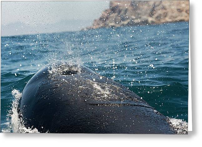 Killer Whale Blowhole Greeting Card by Christopher Swann