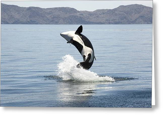 Killer Whale Breaching Greeting Card by Christopher Swann