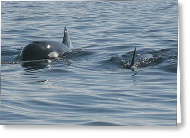 Ocean Mammals Greeting Cards - Killer Whale Pod Greeting Card by Darci T