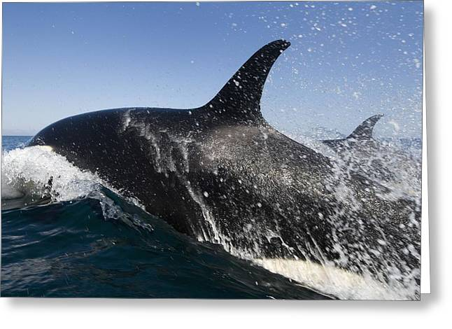 Killer Whales Hunting Greeting Card by Christopher Swann
